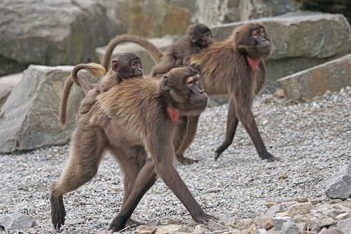 Dschelada, Primates, Ape, Social, Young Animals