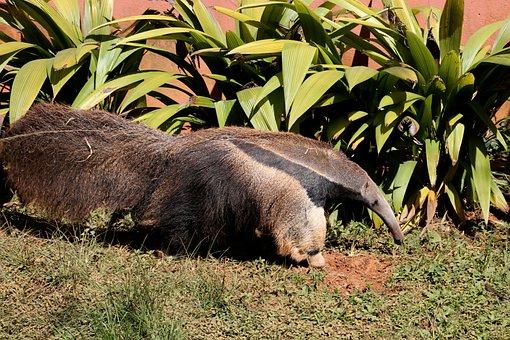Anteater, Flag, Great, Wild, Animal, Eater Termite