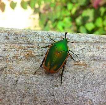 Beetle, Figeater Beetle, Green Fruit Beetle, Fig Beetle
