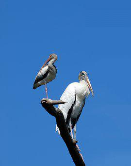 Wood Stork, Ibis, Birds, Avian, Tropical, Florida