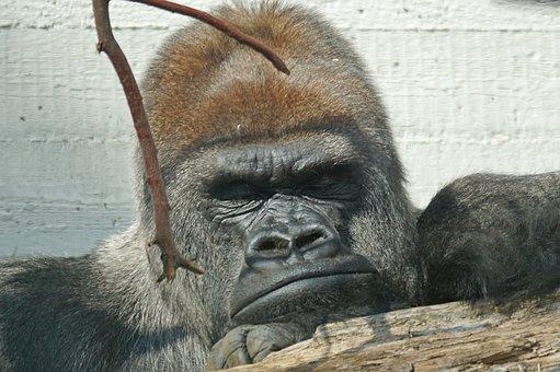 Gorilla, Silverback, Grim, Leader