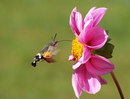Hummingbird Hawk Moth, Butterfly