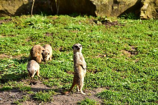 Meerkat, Keep Watch, Attention, Animal, Watch, Social