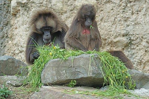 Dschelada, Monkey, Primates, Pair, Social, Mammal, Food