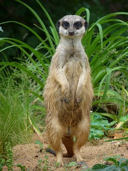 Meerkat, Guard, Animal, Keep Watch, Attention, Nature