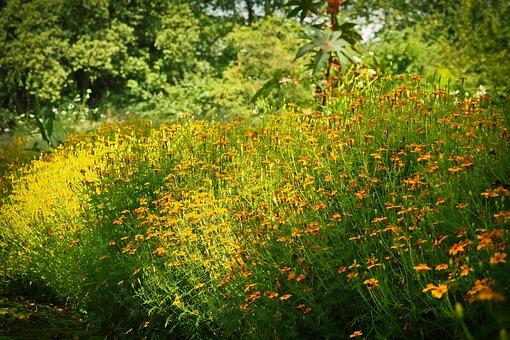 Sun Hat, Flowers, Ordinary Sonnenhut, Yellow, Blossom