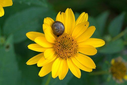 Flower, Sun Hat, Ordinary Sonnenhut, Macro, Yellow