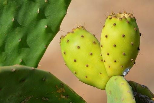 Fruit, Cactus, Prickly Pear, Nature