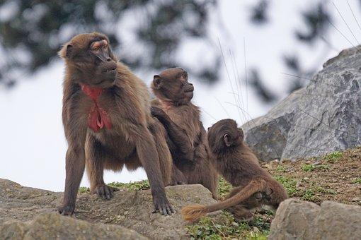 Dschelada, Monkey, Primate, Fear, Horror, Attention
