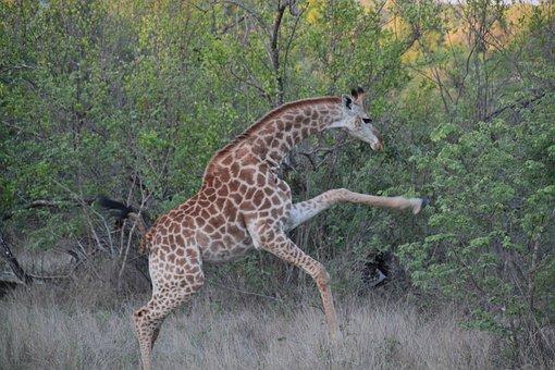 Giraffe, Giraffes, Animal, Safari, Africa