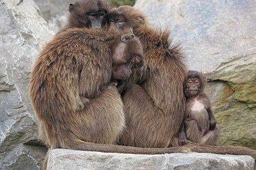 Dschelada, Monkey, Primates, Mother, Ape Baby, Social