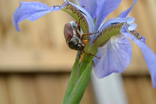 Cockchafer, May Bug, Spang Beetle, Mitchamado