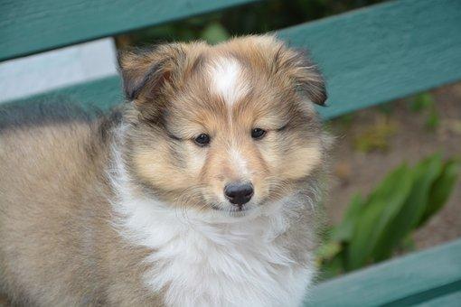 Puppy, Shepherd Shetland, Lof, Female, Young, Animal