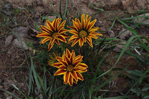 Bhutan, Flower, Ojhal