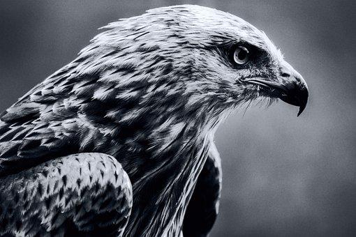 Bird, Milan, Black And White, Raptor, Bird Of Prey