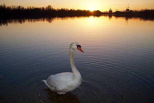 Swan, Sunset, Water, Lake, Abendstimmung, Swans, Bird
