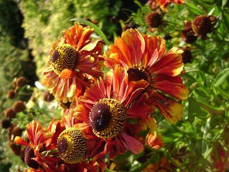 Dzielżan Autumn Helena Red Shades, Perennial, Flower