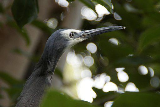 Heron, Grey, Plumage, Bird, Eastern, Animal World