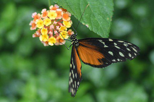 Butterfly, Exotic, Hécalé, Heliconius Hecale, Flowers