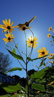 Jerusalem Artichoke, Flower, Summer