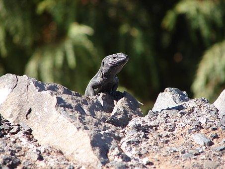 Lizard, Amphibian, Hot, Stone, Dry, Roadside, Gomera