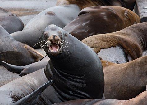 Sea Lion, Astoria Oregon, Northwest, Mammal, Wild