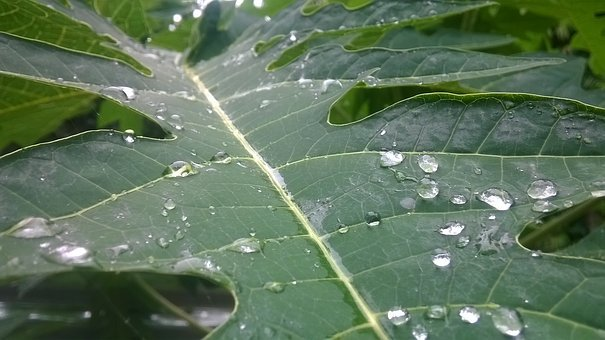 Leaf, Papaya Leaf, Morning, Green Morning