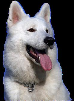 Isolated, White Shepherd Dog, Animal, Pet, Portrait