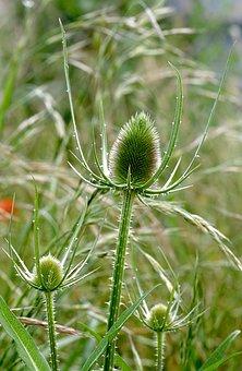 Thistle, Plant, Dashing, Drying, Dry, Stinging, Flora