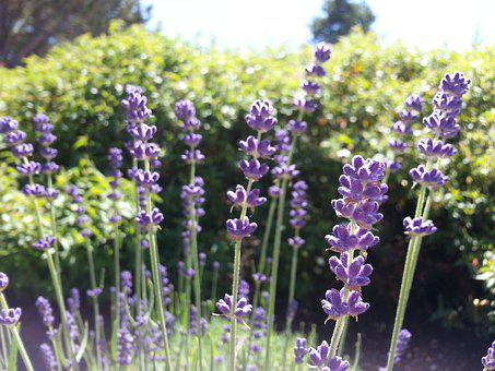 Lavender, Flowers, Garden, Summer, Purple, Herb, Herbal