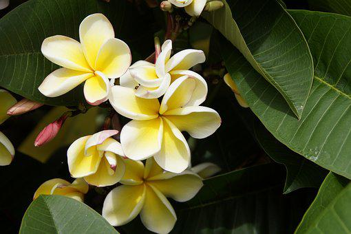 Frangipani, Temple Tree, Blossom, Bloom, Plumeria