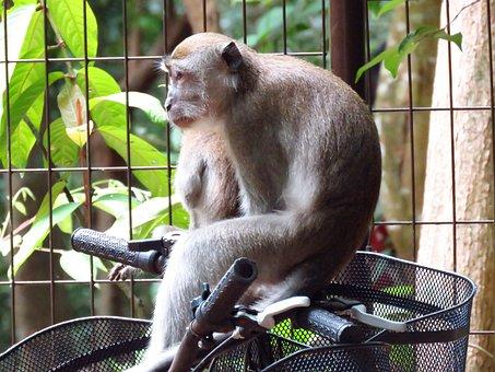 Naughty Monkey, Monkey, Bicycle, Naughty, Animal, Wild
