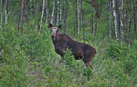 Moose, Young Bull Moose, Forest, Animals, Sweden