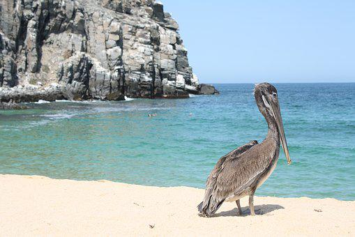 Pelican, Beach, Wildlife, Coast, Rock, Punta Lobos