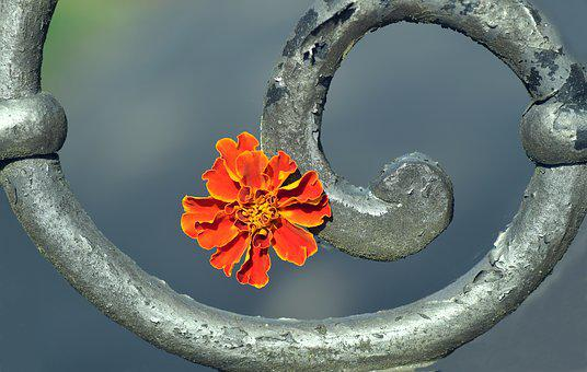 Marigold, Blossom, Bloom, Plant, Flower, Composites