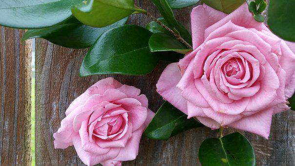 Wood Fence Background, Pink Roses, Blush Color