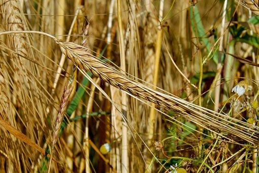 Cereals, Rye, Ear, Nourishing Rye, Grain, Rye Field