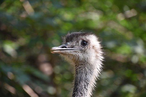 The Ostrich, Beautiful, Eye, Animals Birds, Zoo