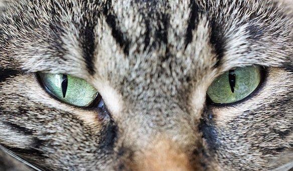 Cat, Eyes, Animal, Domestic Cat, Yellow Eyes, Portrait