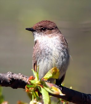 Eastern Phoebe, Flycatcher, Bird, Avian, Feathers