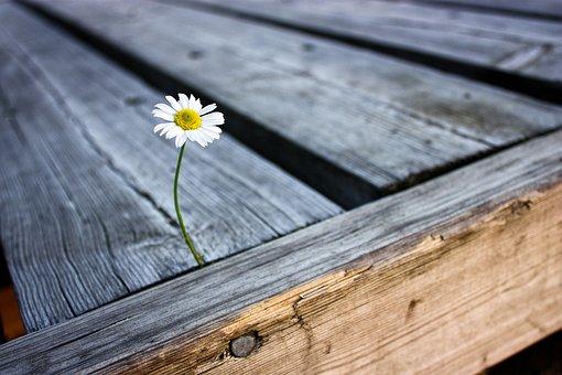 Flower, Daisy, Pier, Summer, Nature, White, Plant