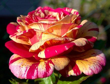 Rose, Macro, Close, Blossom, Bloom, Flower, Spring