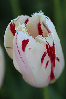 Tulips, White, Pink, Yellow, Flower, Plant, Nature