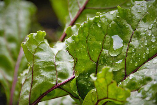 Beetroot, Drop Of Water, Garden, Nature, Plant, Leaves