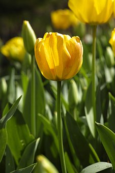 Tulips, Flower, Tulip Festival, Flowers, Macro, Nature