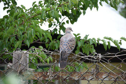 Bhutan, Pigeon, Ojhal