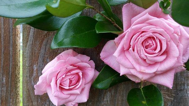 Wood Fence Background, Pink Roses, Blush Color