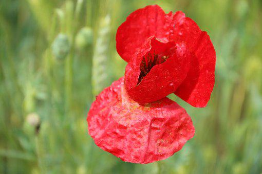 Papaver Rhoeas, Flower, Plant, Nature, Flowers, Green
