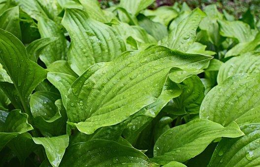 Rain-wet Plantain Lily Leaves, Hosta, Leaves, Foliage