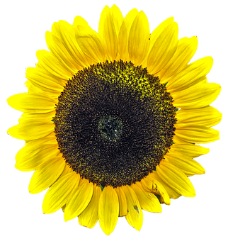 Sunflower, Isolated, Yellow Flower, Yellow, Plant